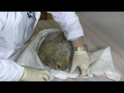 العرب اليوم - شاهد: ثلوج سيبيريا تحفظ رأس ذئب منقرض لأربعين ألف سنة