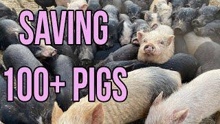 MASSIVE Animal Rescue: Saving Over 100 Pigs!
