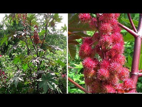 Клещевина посадка и выращивание из семян