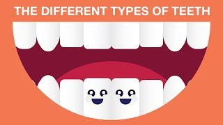 WHAT ARE THE DIFFERENT TYPES OF TEETH?