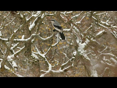 Canada: Northern Shrike carrying dead prey Junco bird in snowfall