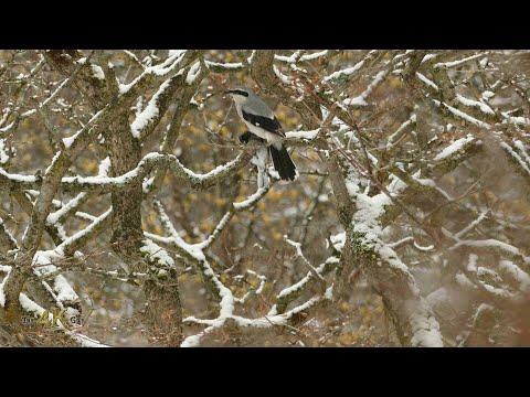 Canada: Northern Shrike carrying dead prey Junco bird in snowfall