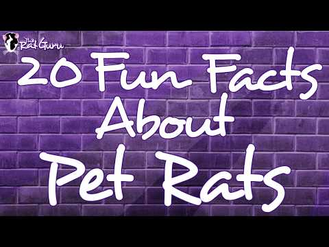 20 Fun Facts About Pet Rats