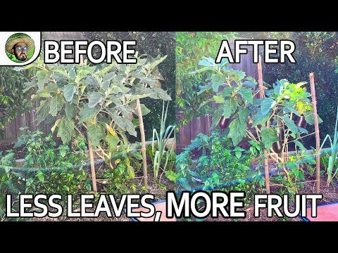 , title : 'How to Grow Eggplants     Quick Guide to BIG & DISEASE FREE Eggplants    Less Leaves, More Fruit