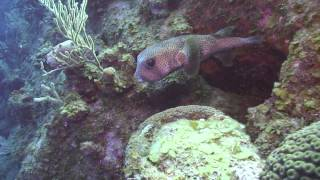 preview picture of video 'MSD Dive Little Cayman 2013 - Great Wall West'