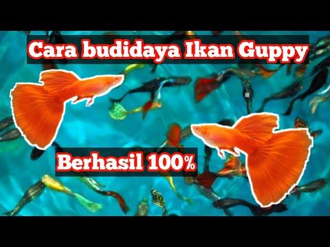 Video Cara Budidya Ikan Hias Guppy Yang Baik dan Benar.. Dijamin Burayak Tidak Dimakan Induknya