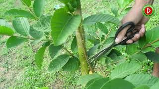 guava farming Sawai Madhopur - Kênh video giải trí dành cho thiếu