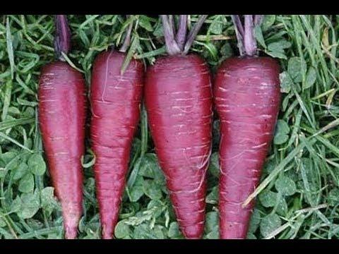 Tipis pada sauerkraut