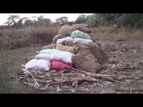 Los sacos de maíz de la milpa.