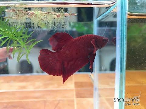 หนอนสีเขียวในปลา