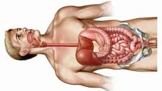 Digestive System - Gastrointestinal Tract