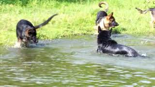 Copy of Pack Of German Shepherd Dogs...A Short Film By Panzertoo