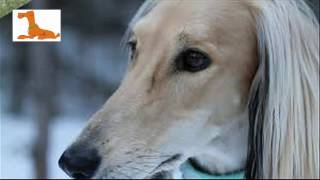 The Most Beautiful Dogs In The World   The Most Valuable Saluki