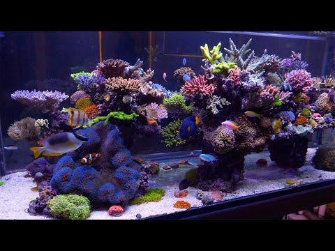 The Best Reef in Australia - Evan Luo's Glorious SPS Aquarium