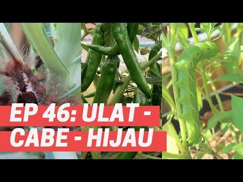 EP 46: Ketemu ulat bulu & makan cabe ijo hasil kebun, manis rasanya!
