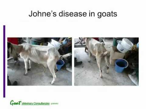 Video Johne's disease