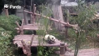 Маленькая панда мешает работать сотруднику зоопарка