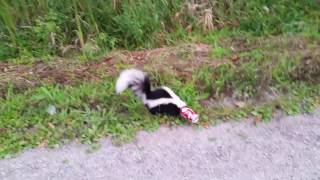 Man Removes Soda Can from Skunks Head
