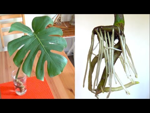 Monstera Cutting and Water Propagation - House Plant Ideas