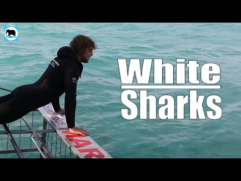 Great White Sharks With Dickie Chivell In South Africa Sea
