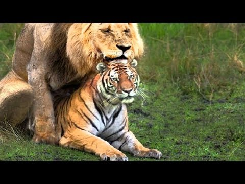Wild Animal Documentary - Real Fight Of Tiger and Animals 2017 #2