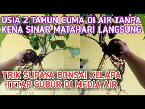 Trik Supaya Bonsai Kelapa Tetap Subur Di Media Air Afif Arianto