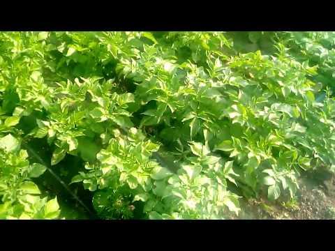 Выращивание картофеля без прополки можно ли?