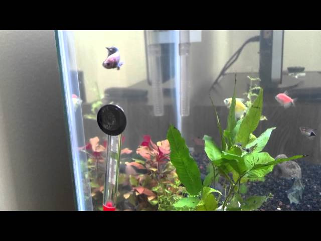 Can Betta Fish Live in a Community Tank?
