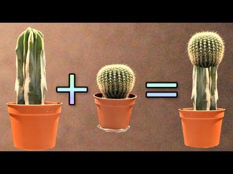 innesto piante grasse facile veloce ed economico, cactus