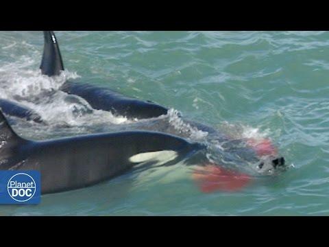 El Ataque de las Orcas: Patagonia