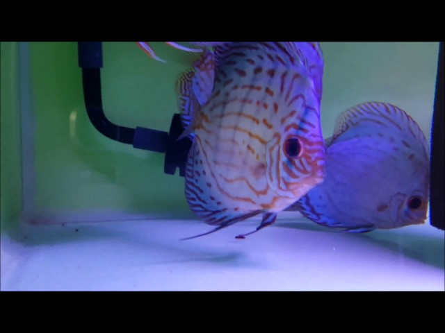 Installing the Atman canister filter and adding it to the Discus fish tank