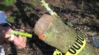 Top working Avocado - Changing canopy -  Bark Grafting Avocado - Injerto de corteza aguacate