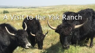 A Visit to the Yak Ranch | Hands Occupied