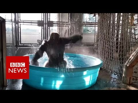 Splish splashing spinning gorilla - BBC News