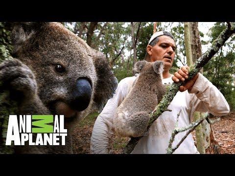 Vybere si koala větev, nebo Franka?