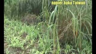 Tips Menanam Rumput Napier Baka Taiwan