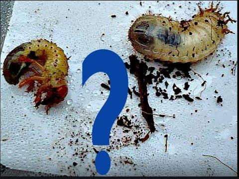 Личинки медведки, личинки майского жука и бронзовки  Отличия