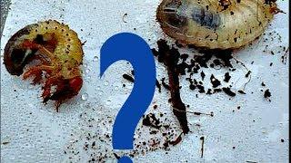 Личинка или майского жука в рыбалка