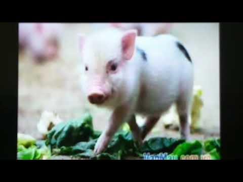 Chuyện Lợn và Cừu - Cô Thi & Cô Thanh