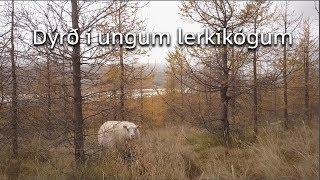 Dýrð í ungum lerkiskógi