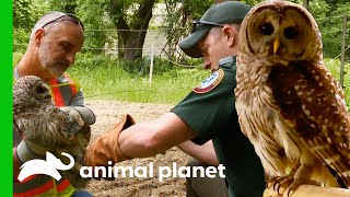 An Owl Needs Rehab After Getting Its Leg Stuck On A Fence | North Woods Law by Animal Planet