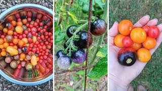 Cherry Tomatoes Im Growing 2018! Heirloom Tomato Review!