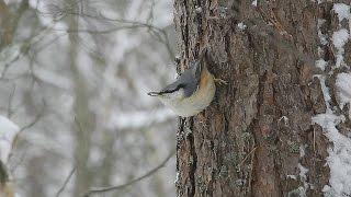 Nuthatch (Sitta europaea) - поползень обыкновенный - wildlife