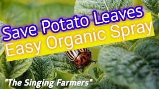 What is Eating my Potato Plant Leaves? Potato Beetle Spray Control (Even Organic Kills Easy!)