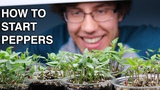 How to Germinate Pepper Seeds INCREDIBLY QUICK with 99% Germination!