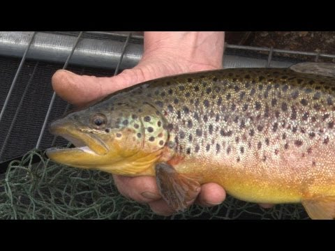 Restocking a trout fishery with rainbows and brownies