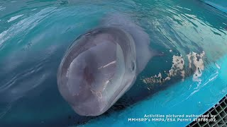 Endangered Beluga Whale Calf Rescued Near Alaska