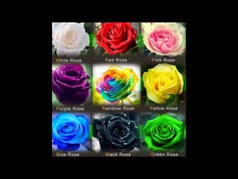 Video Jual Biji Bunga Mawar - Benih bunga mawar - cara menanam bunga mawar