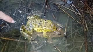 Soi ếch đồng Trà Vinh