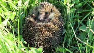 Tips for looking after hedgehogs